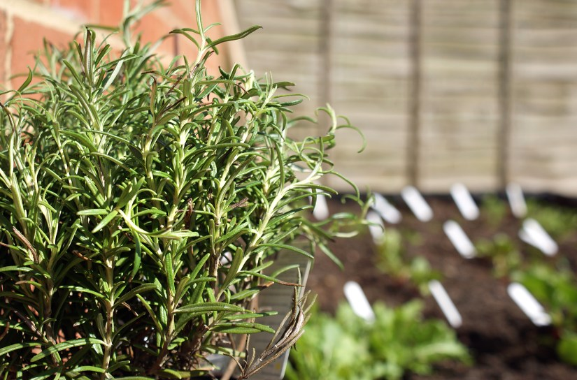 Building a herb garden: new rosemary bush