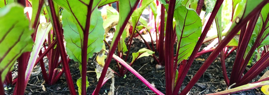 All in a row: beetroots in summer