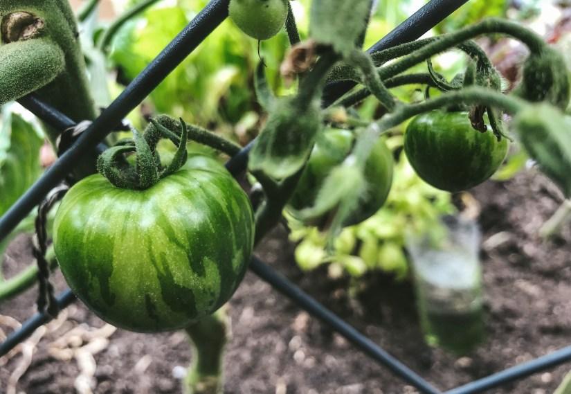 Tigerella tomatoes growing
