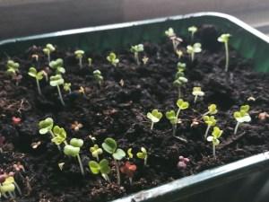 My homemade growing salad tray