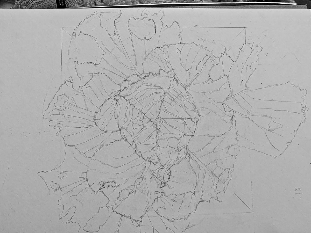 cabbage sketch
