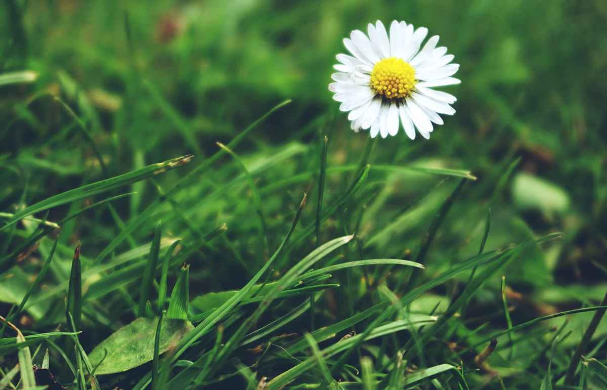 white chamomile flower closeup photography