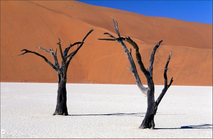 Surreal landscape of the Namib Desert Acacia Trees in the Deadvlei pan, Namibia