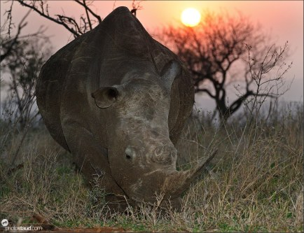 White rhinoceros (Ceratotherium simum) grazing with sunset in background, Mkhaya Game Reserve, Swaziland