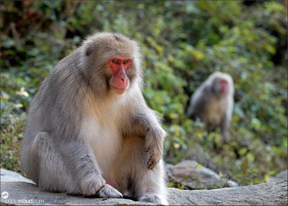 Two Japanese Macaques (Macaca fuscata) sitting in the hills of Nagano, Japan