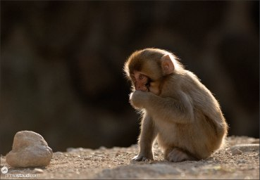 Little Japanese Macaque (Macaca fuscata) playing with stones in Nagano Mountains, Japan