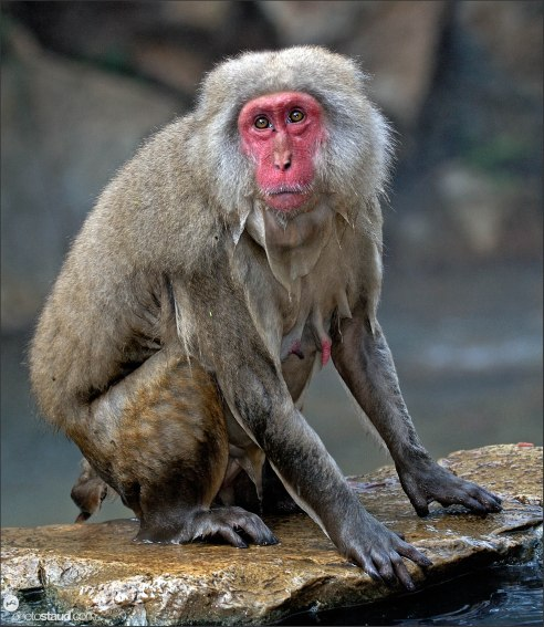 Drenched Japanese Macaque (Macaca fuscata) resting at hot spring, Jigokudani National Park, Japan