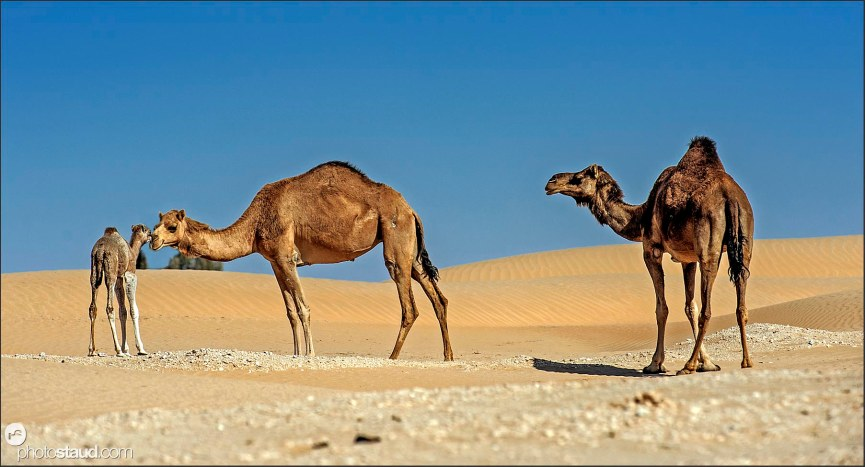 Camel family in the landscape of Empty Quarter, Rub al Khali Desert, Oman