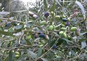 olive calabresi