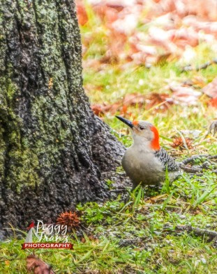 untitled-0044-2-1 Name Orginal Woodpecker_