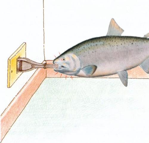 salmone che risale la corrente