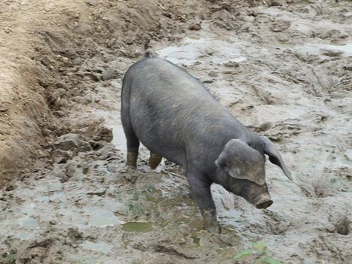 maiale-nel-fango