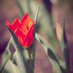 kleine rote Tulpen