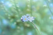 Die letzten Blüten der Vergissmeinnicht