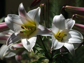 frauenfiguren isabella preston königslilie lilium regale