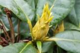 Rhododendron erwacht