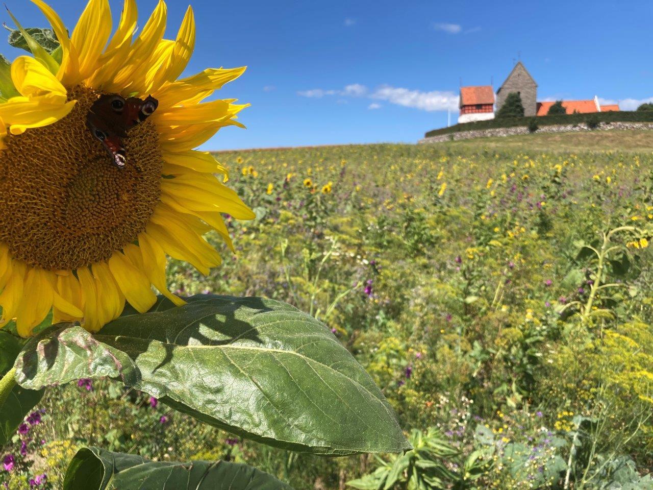 Honningplanter flerårig. Fotograferet ved Rutsaf Klaus Petersen. LBF ved Rutsker Kirke, august 2021,