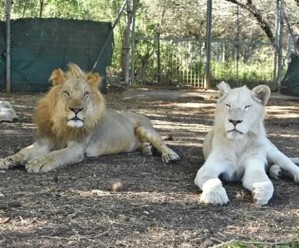 Lions at Casela Safari Park Mauritius