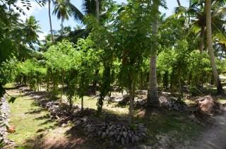 Plantation de Vanille - Ile de la Digue