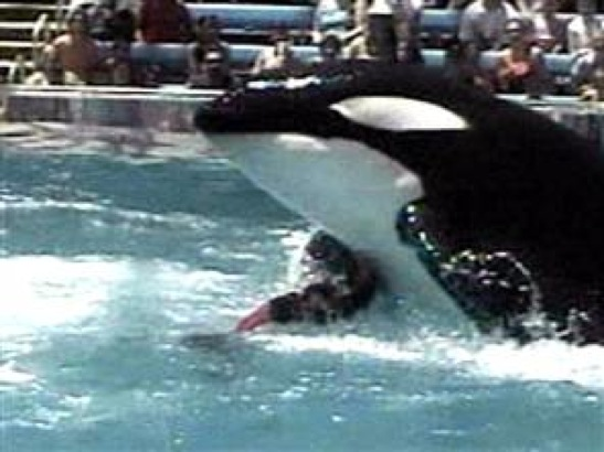 Video Footage Of Killer Whale Tilikum Drowning Trainer Dawn