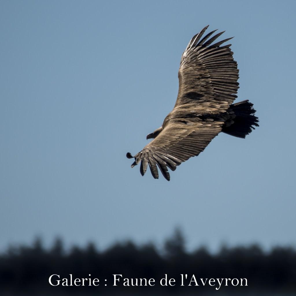 Cliquez ici pour accéder à la galerie : Faune de l'Aveyron