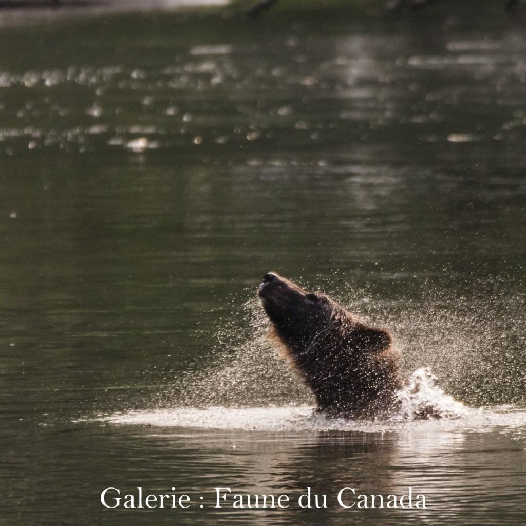 Cliquez ici pour accéder à la galerie : Faune du Canada