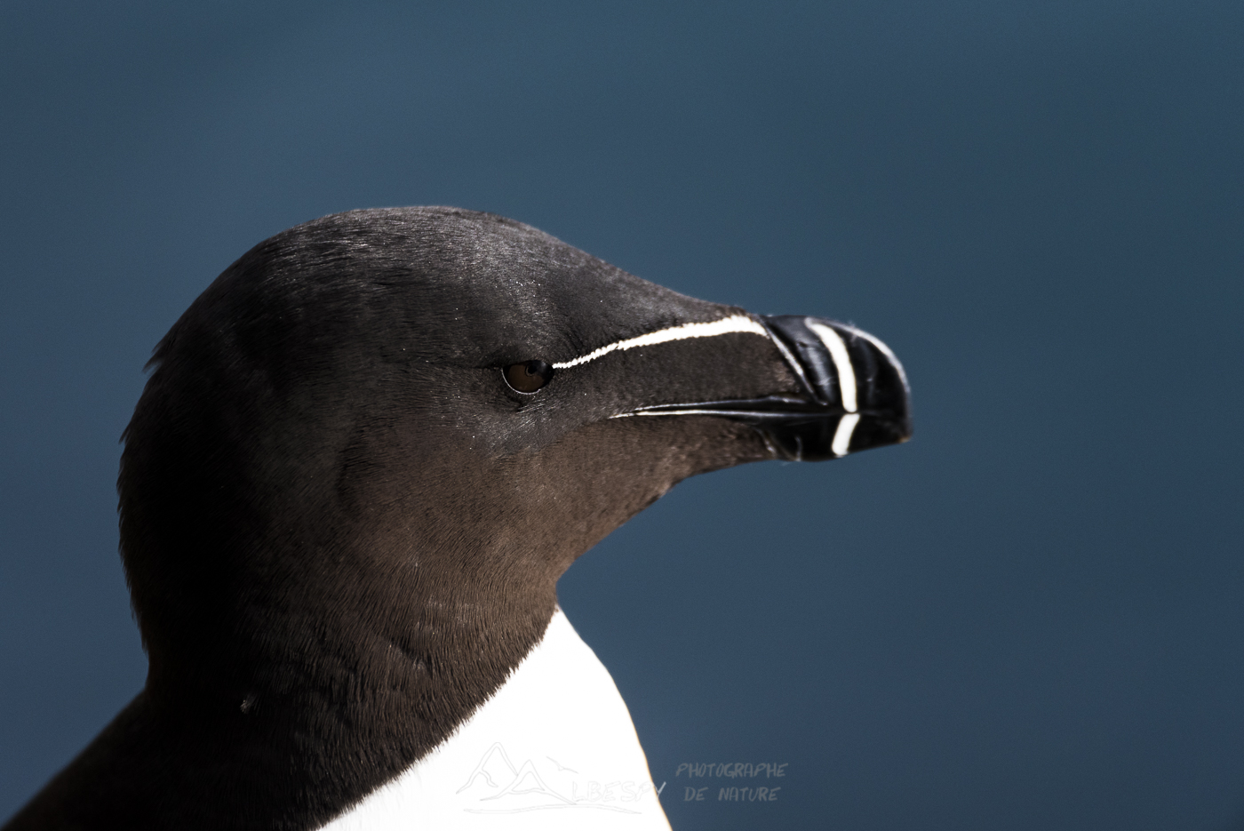 Pingouin torda (Alca torda - Falaises de Látrabjarg) n°0711