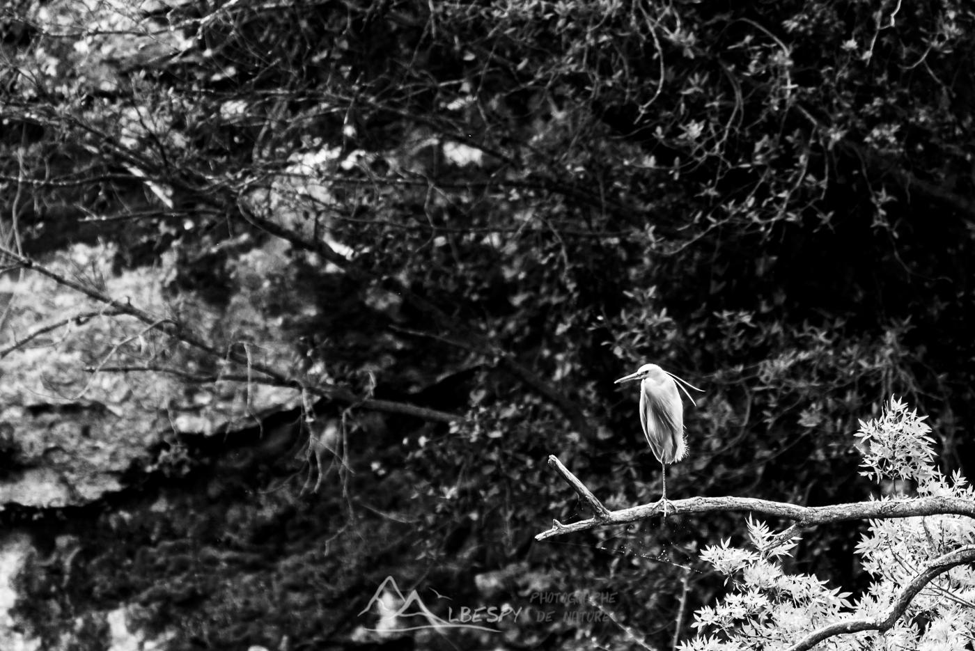 Aigrette garzette (Egretta garzetta - Gorges du Gardon) n°0301