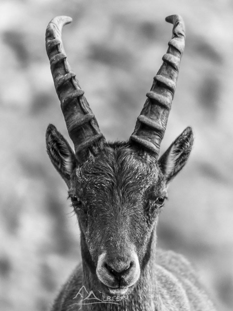 Bouquetin des Alpes (Capra ibex - Parc National du Mercantour) n°0324