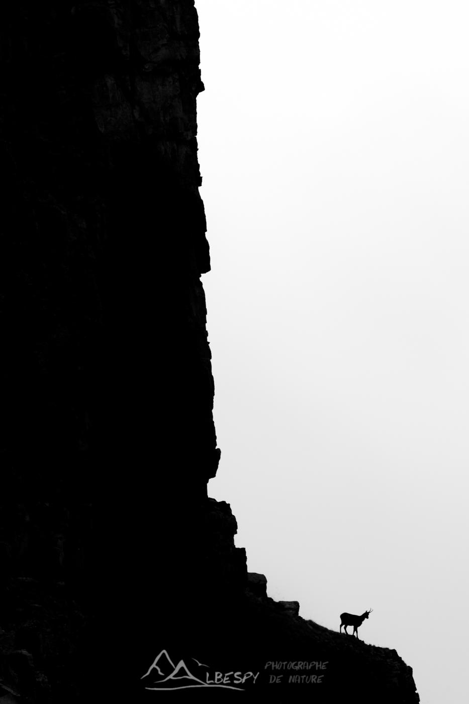 Chamois des Alpes (Rupicapra rupicapra - Parc National du Mercantour) n°0322