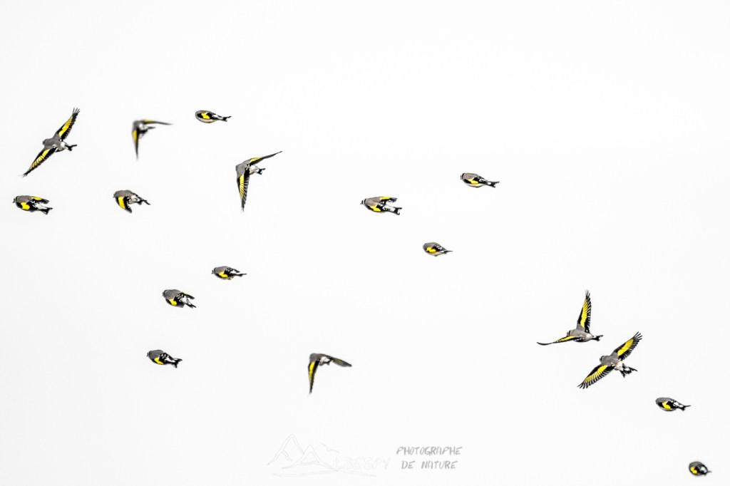 Chardonneret élégant (Carduelis carduelis - Causse Comtal) n°0104