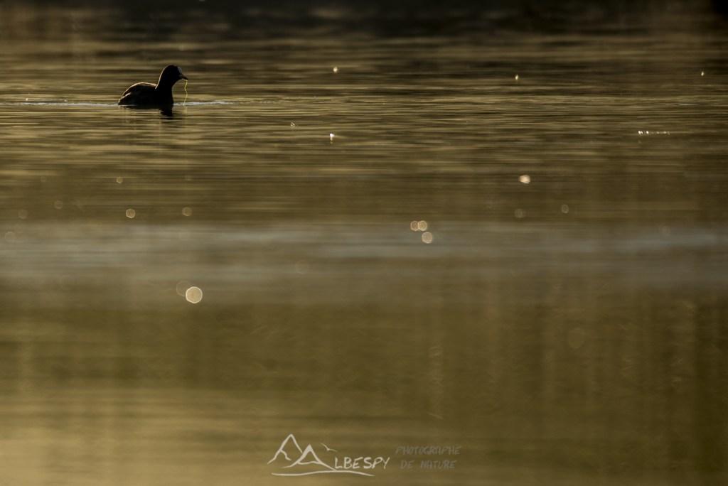 Foulque macroule (Fulica atra - Lac de la Gourde) n°0107