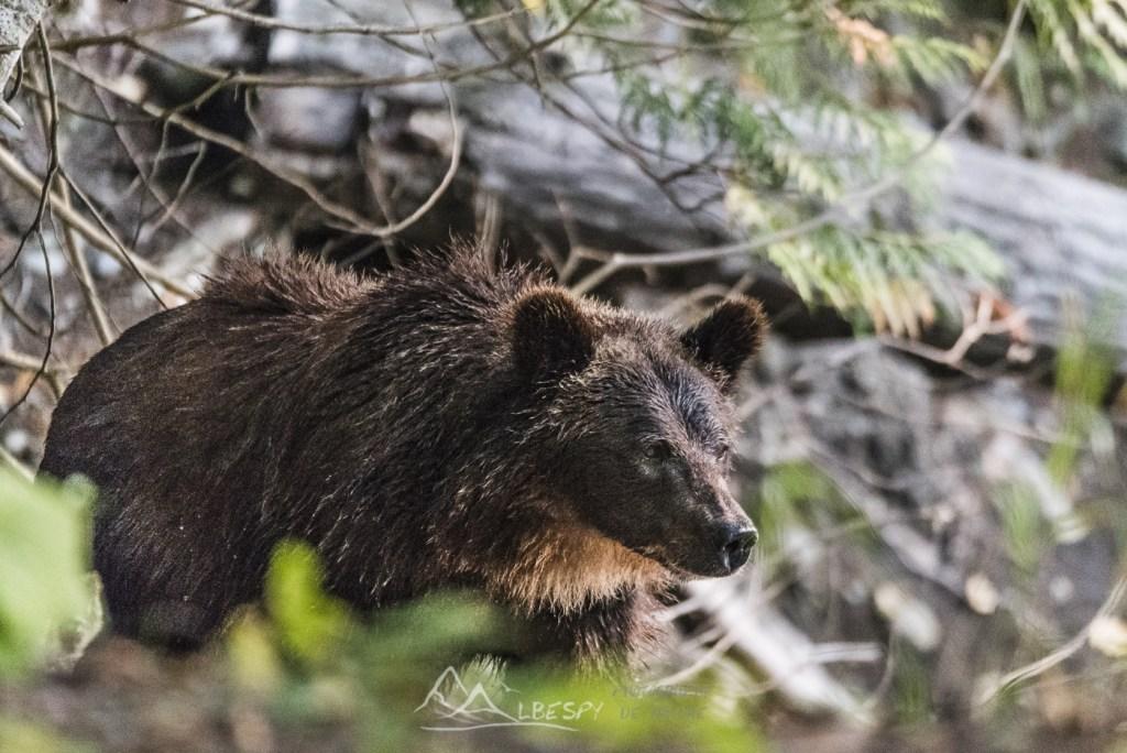 Grizzly (Ursus arctos horribilis - Colombie Britannique) n°0512