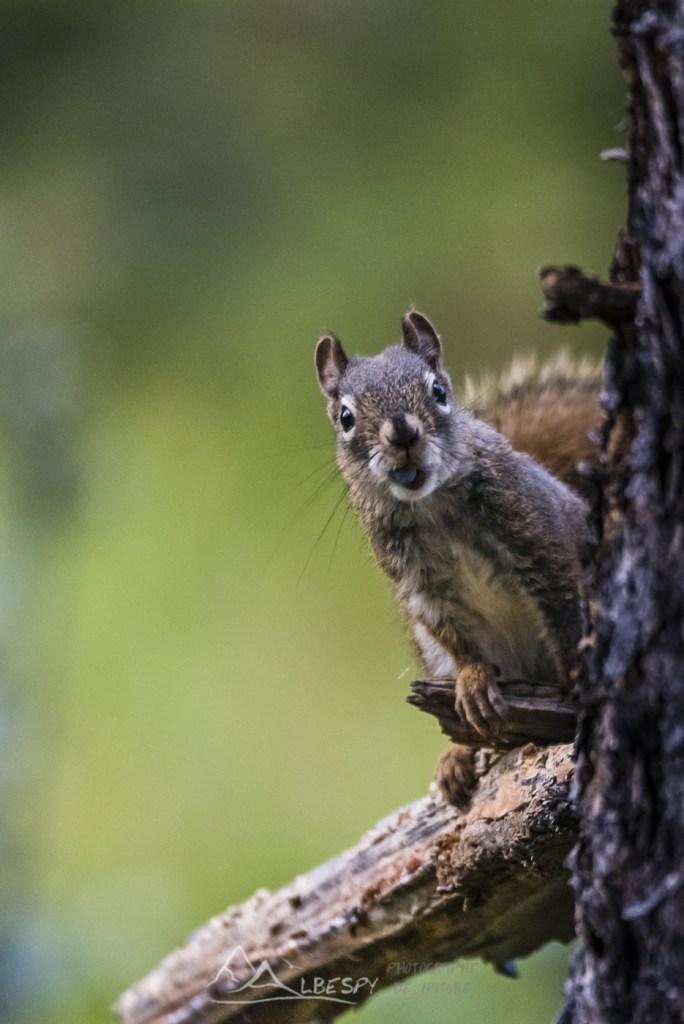 Écureuil roux d
