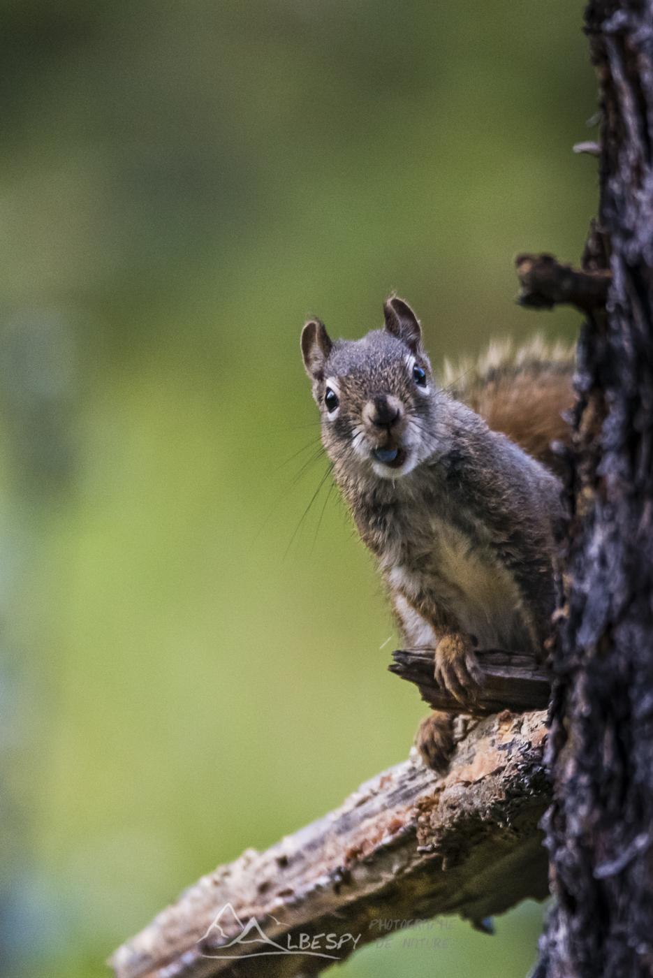 Écureuil roux d'Amérique (Tamiasciurus hudsonicus - Parc National de Banff - Alberta) n°0504