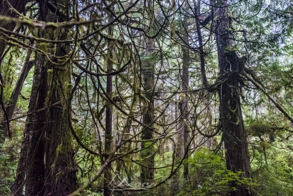 Forêt Humide (Île Vancouver - Colombie Britannique) n°0625