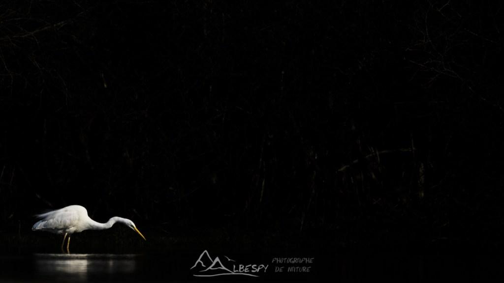 Grande Aigrette (Ardea alba - Lacs de Privezac) n°0108