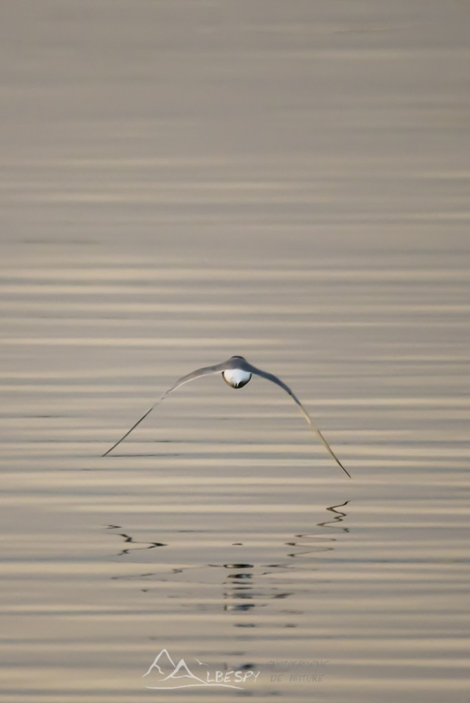 Sterne pierregarin (Sterna hirundo - Lac du Der - Marne) n°0304