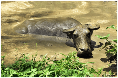 Bohol - Buffalo in a mud pool