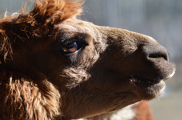 Alpaca, 2012, photo by Fred Hatt