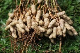 kacang tnah