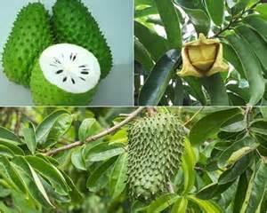 Hasil gambar untuk buah sirsak