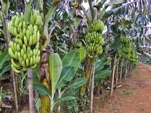pisangg