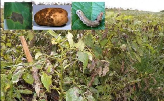 Hama penyakit tanaman kentang