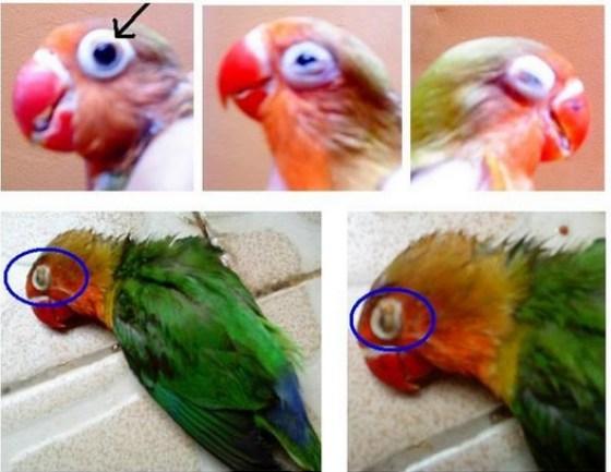 cara mengobati burung lovebird sakit mata