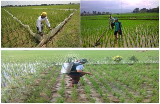 Pengendalian gulma pada tanaman padi di sawah