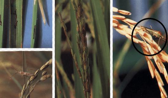 Cara mengatasi walang sangit tanaman padi