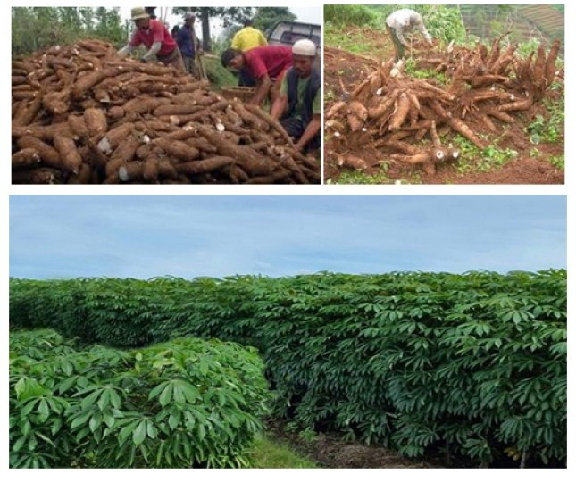 cara meningkatkan produktivitas tanaman singkong