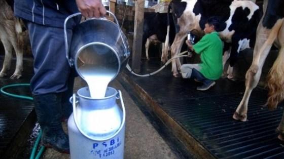 jenis pakan meningkatkan produksi susu sapi perah