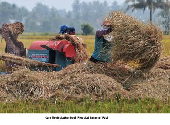 cara meningkatkan hasil produksi tanaman padi